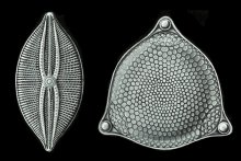 Engravings of microscopic diatoms (detail) by Ernst Haeckel. Kunstformen der Natur (1904), plate 84: Diatomeae.