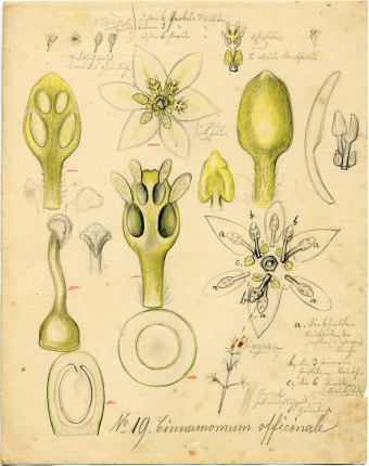 "Cinnamomum ""officinale"" (currently C. verum J. Presl), Cinnamon, Lauraceae, Model 447 (1894), L. and R. Blaschka, Drawing no. 19, Colored pencil on paper, 21 cm x 26.7 cm."