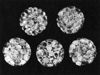 Fig. 3: Results of fusion experiments. Discs formed by heating sets of mosaics at varying temperatures. Temperatures, reading from left to right across top and right to left across bottom are: 7500 C., 7650 C ., 7750 C., 8000 C., 8500 C.